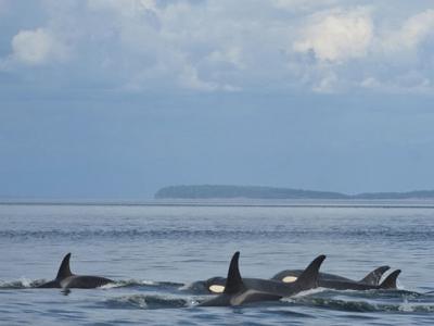 美国国家海洋及大气总署射追踪镖疑未消毒 杀人鲸染真菌惨死