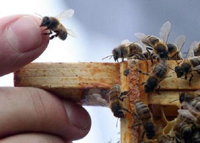 雄性蜜蜂交配及享受高潮后,便会睾丸爆裂而亡。