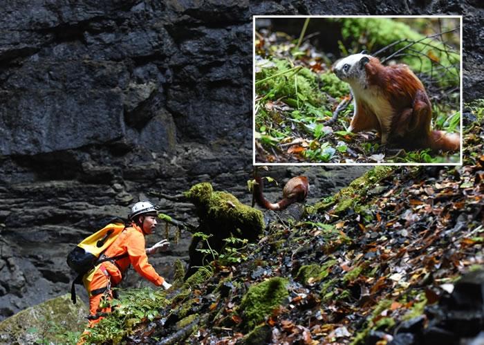 """该探险队进入天悬天坑期间,意外发现被困的稀有动物""""鼯鼠"""",并将其救出。"""