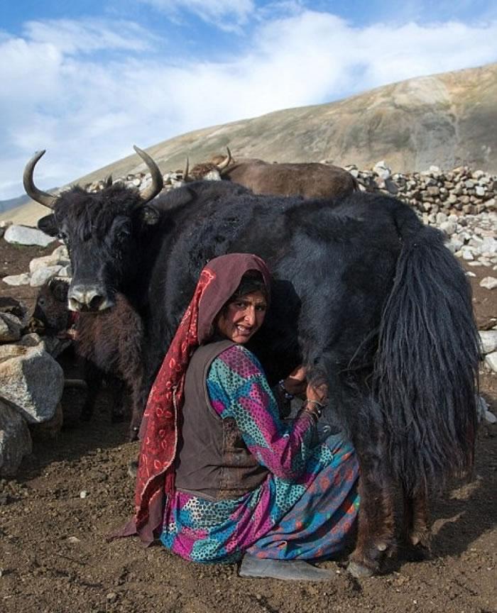 一名妇人为牦牛挤奶。
