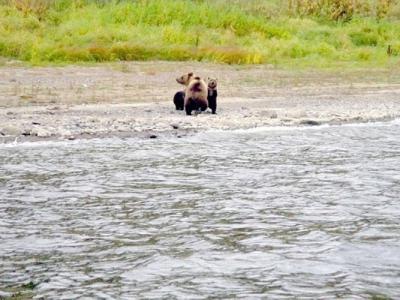 俄罗斯西伯利亚自然保护区上演棕熊骨肉分离 宝宝长大妈妈忍心离去
