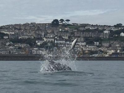 英国康沃尔郡海湾发生海豚互相残杀罕见一幕