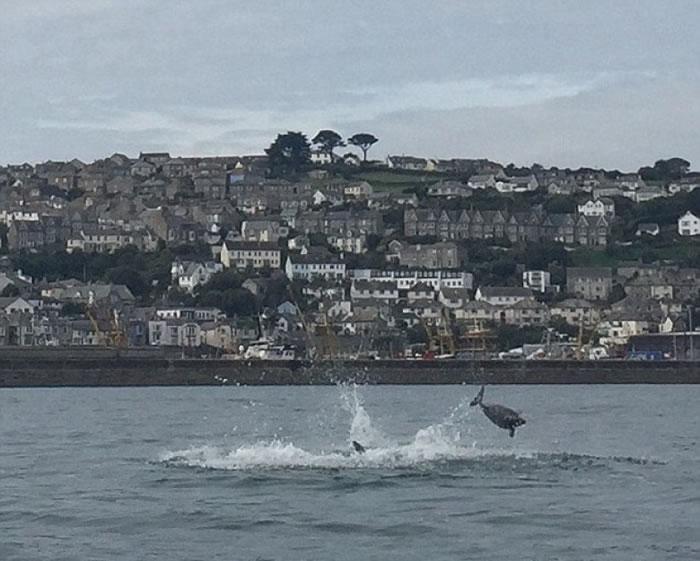 宽吻海豚更不时咬着海豚,把幼豚拉入水中。