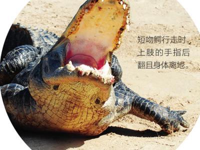 短吻鳄或可帮助揭示恐龙如何从两足行走向四足行走进化