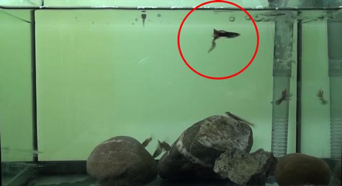 糙体锐齿鰕虎(Smilosicyopus leprurus)咬鱼缸其他鱼的尾巴。