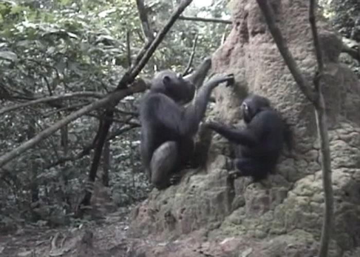 首次有猩猩被拍到教导下一代使用工具。