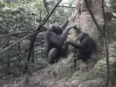 刚果共和国国家公园首次发现母猩猩教导子女利用工具觅食