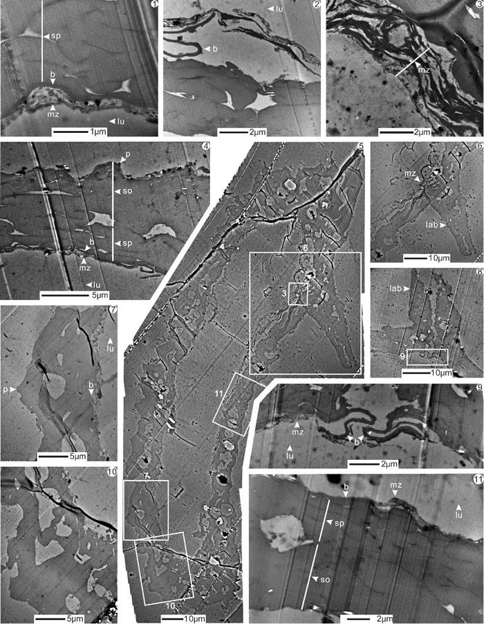 云南曲靖中泥盆世大孢子Longhuashanispora reticuloides Lu et Ouyang, 1978透射电镜超微结构图