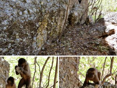 研究发现僧帽候也能制造出石器工具 那过往发现的那些石器是否真的是人类制造?