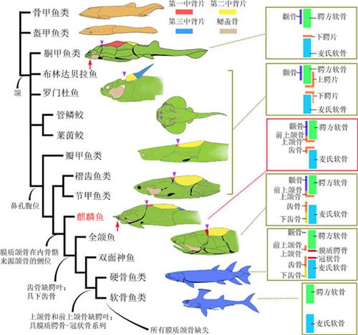 简化的系统发育树,展示了膜质颌骨从盾皮鱼类原颌模式到硬骨鱼类全颌模式的演变序列。棕色身体剪影图代表无颌的有颌类干群(甲胄鱼类),绿色身体剪影图代表有颌的有颌类干