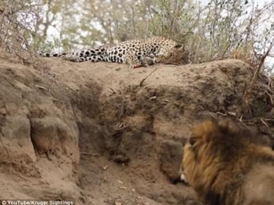 雄狮趁猎豹在睡觉悄悄接近展开攻击
