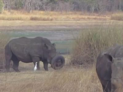 津巴布韦自然保护区白犀牛遭废弃轮胎卡住嘴巴不能吃饭