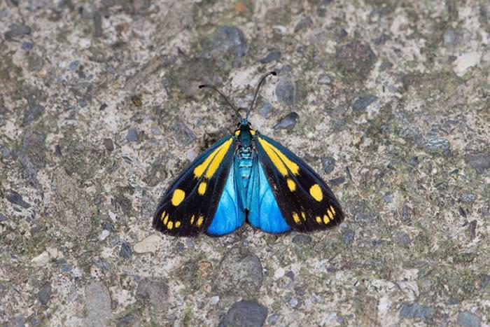 台湾屏东浸水营地区首度发现罕见的天蓝狭翅斑蛾