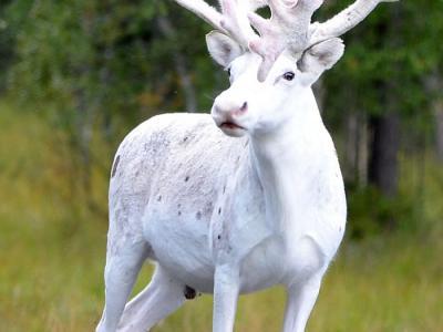 瑞典野外森林发现一头稀有的纯白色野生驯鹿