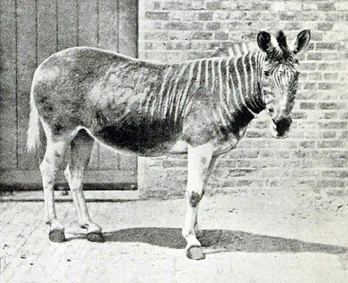 1870年伦敦动物园的斑驴