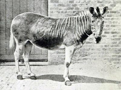 绝种100多年后斑驴要再次出现了