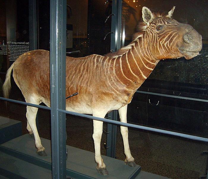 博物馆里可看到斑驴标本