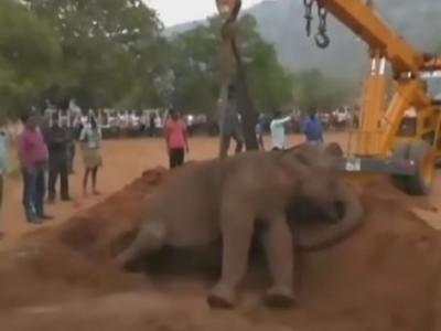 印度大象发烧在森林内晕倒 护林员用挖泥机助起身