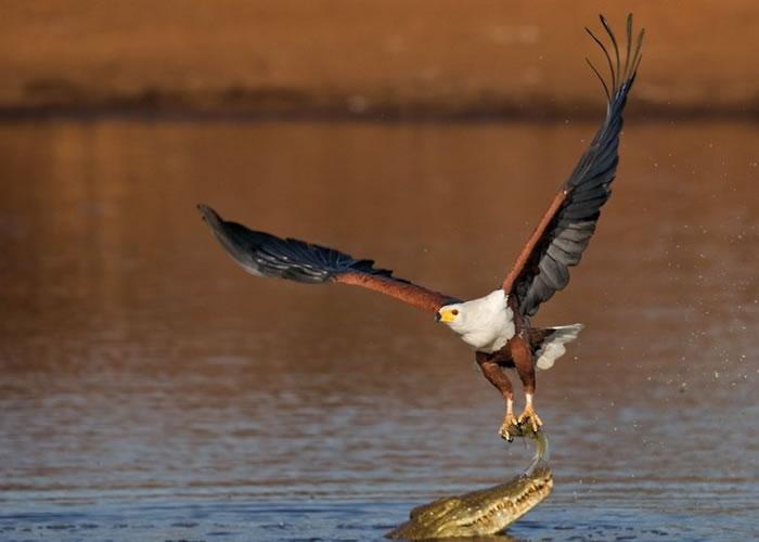 南非鳄鱼和鱼鹰争夺水中的鱼。