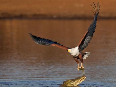 南非克鲁格国家公园大胆鱼鹰与鳄鱼水中争食