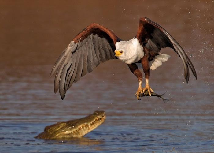 鱼鹰最终获得猎物。