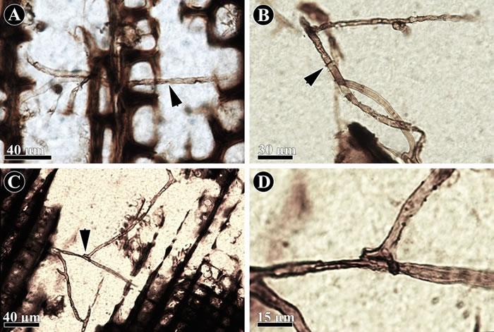 新疆地区晚二叠世木材中的真菌化石