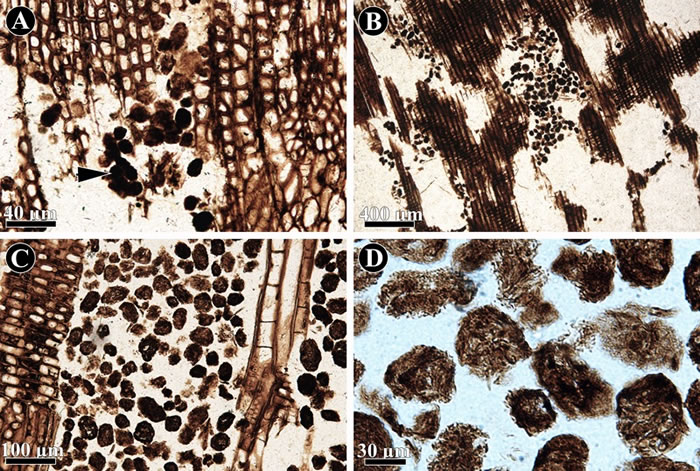 化石木材中的粪便化石以及蛀孔