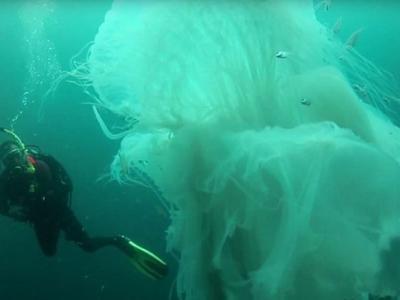 潜水员在墨西哥巴亚尔塔港外水域遇上罕有巨大水母
