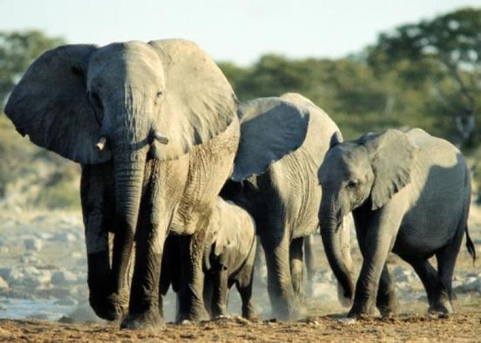 非洲大象数量正大幅减少。