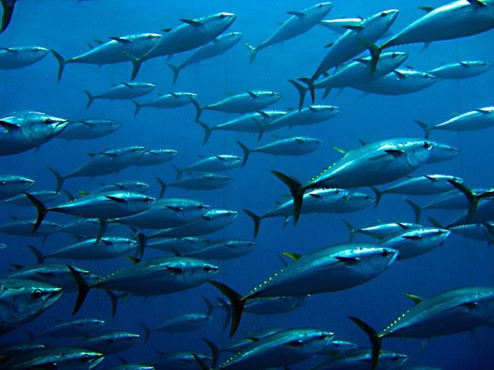 人类过量食用蓝鳍吞拿鱼。
