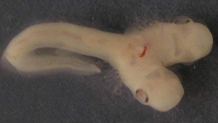 科学家表示首次发现拥有两个头的鲨鱼胚胎。