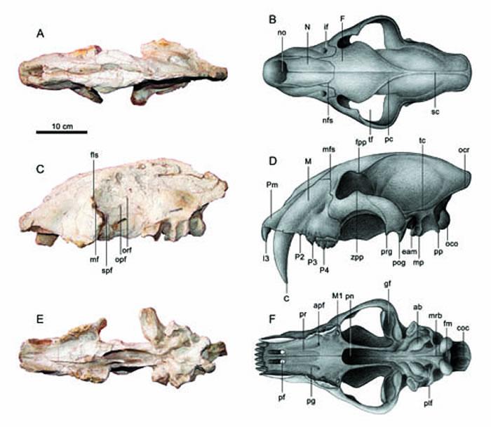 恐剑齿虎头骨化石及其矫正复原(陈瑜绘)