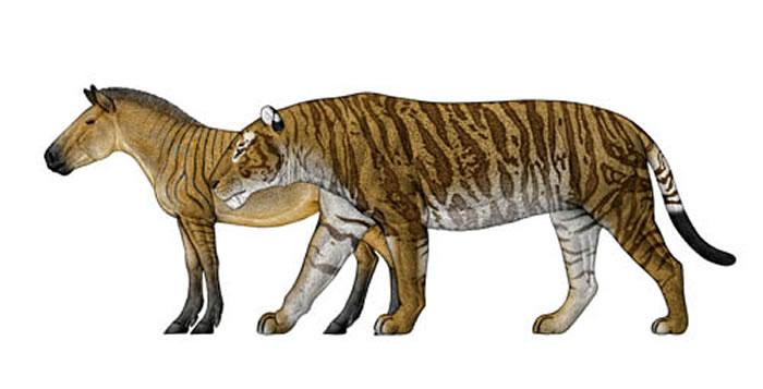 恐剑齿虎与其主要猎物平齿三趾马的体型对比(陈瑜绘)