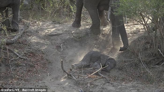 南非克鲁格国家公园初生小象滚下斜坡 大象伸长鼻救回