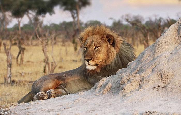 津巴布韦明星狮子王塞西尔的弟弟Jericho