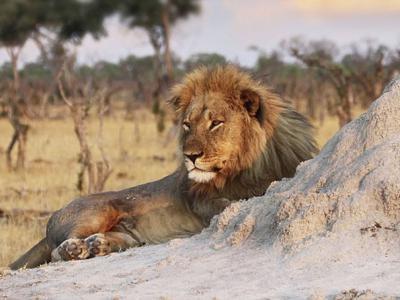 津巴布韦明星狮子王塞西尔的弟弟Jericho也在万基国家公园中被发现死亡