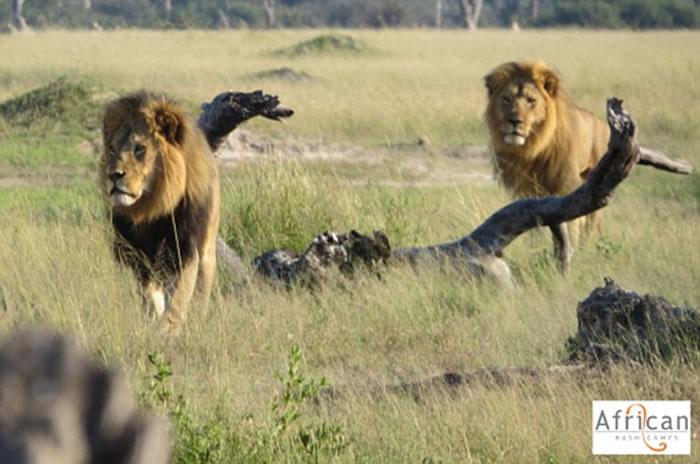 津巴布韦明星狮子王塞西尔(左)和弟弟Jericho(右)