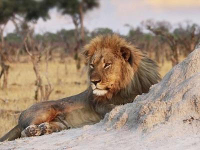 津巴布韦明星狮子王塞西尔兄弟丧生 或遭猎人射杀