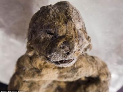 俄罗斯西伯利亚永冻土中发现2只距今3万年前的小穴狮尸体