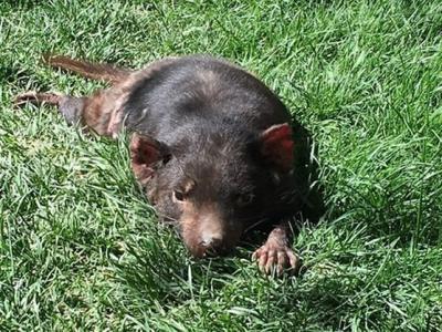 """美国新墨西哥州动物园""""塔斯马尼亚魔鬼""""袋獾已经死亡"""