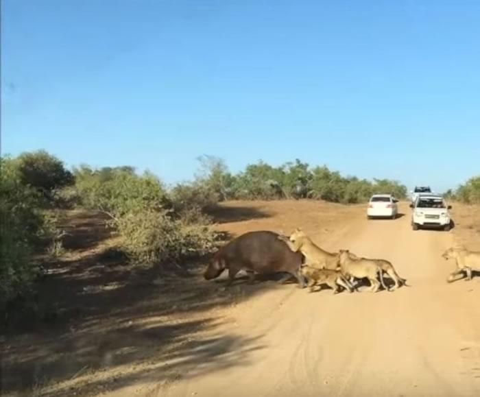 南非克鲁格尔国家公园河马遭狮子咬背 失常发狂咬路过车辆