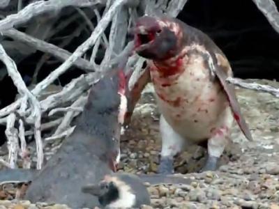 """国家地理频道短片:温驯企鹅出手扞卫爱情怒打""""奸夫"""""""