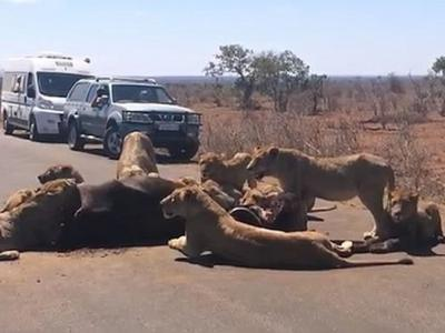 南非克鲁格国家公园一群狮子路中心开餐 懒理交通挤塞6小时
