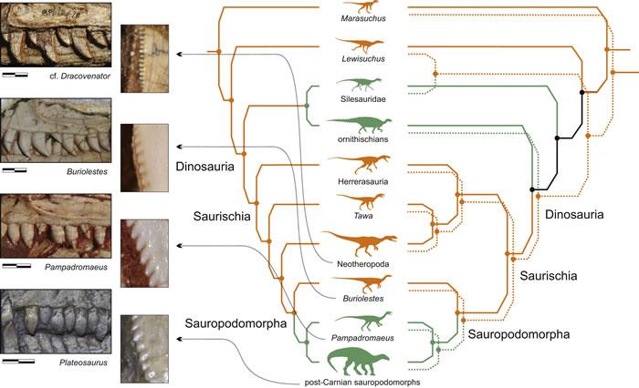 晚三叠世独特的恐龙形态类组合揭示恐龙祖先的解剖学和饮食习惯