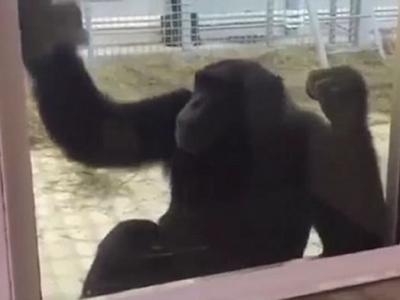 俄罗斯罗斯托夫动物园母黑猩猩Elya每天都认真清理窗户打扫地板