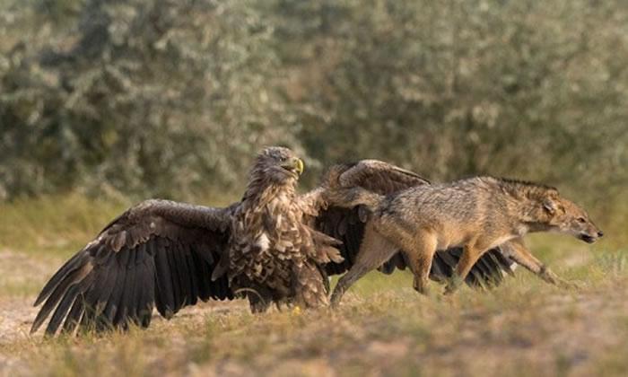罗马尼亚老鹰保护小鸟赶走豺狼
