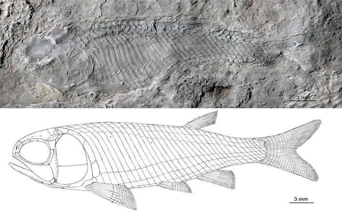 光泽肋鳞鱼雌性标本及其复原图(徐光辉 供图)
