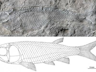 云南发现最古老、最原始的卵胎生新鳍鱼物种:光泽肋鳞鱼