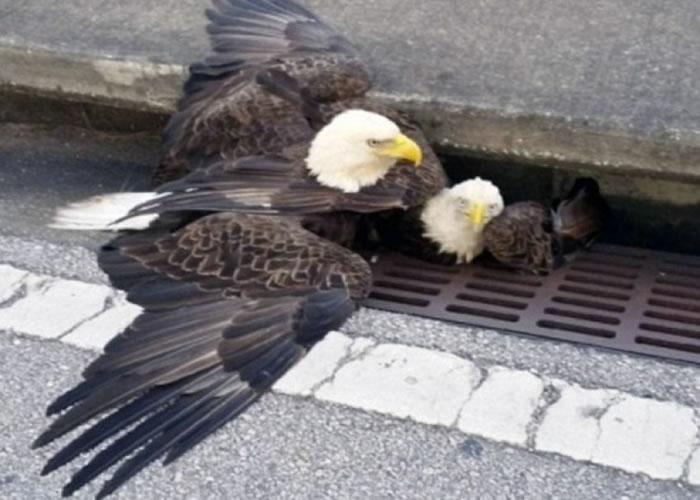 白头鹰似是在保护同伴。