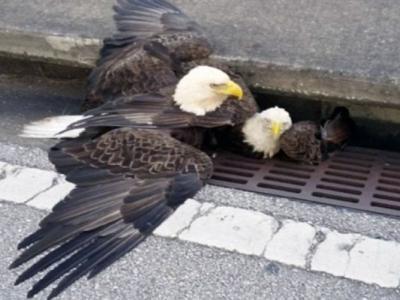 """美国白头鹰保护被困同伴 专家指其实只是在""""争地盘"""""""